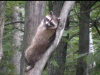 relaxinraccoon-100-75